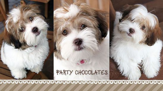Beautiful Akc Havanese Puppies All Colors Specializing In