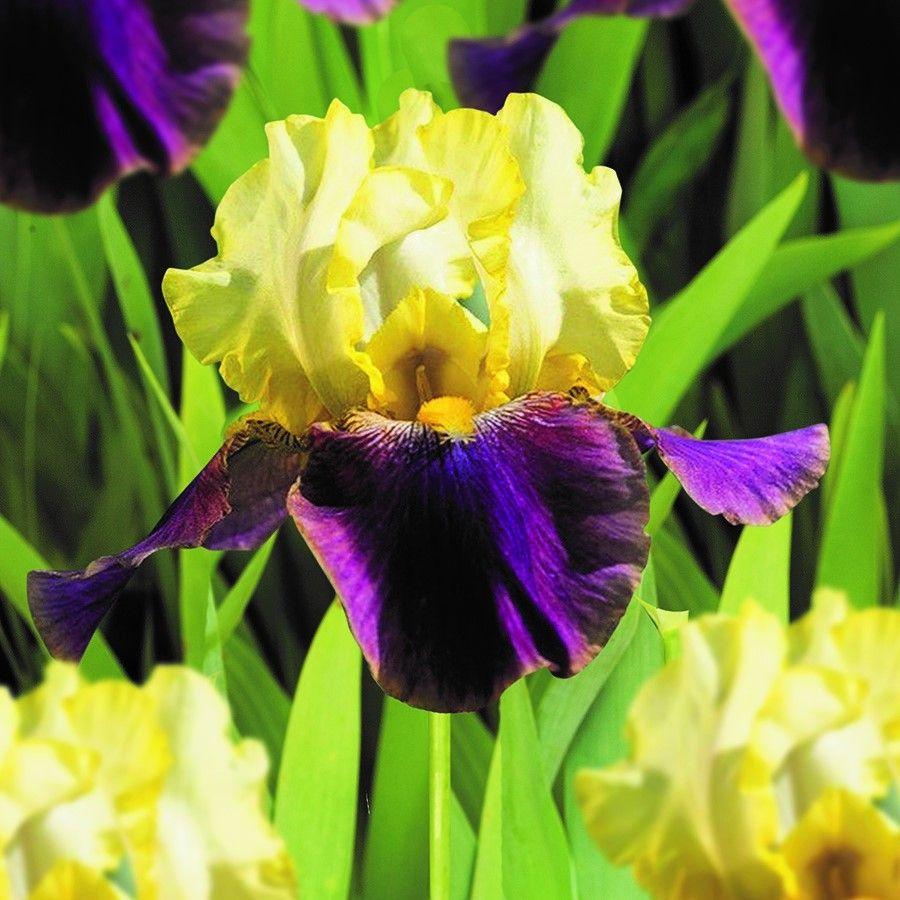 Bearded iris blatant flowers and beauty pinterest bearded iris new for fall reblooming bearded iris blatant is a showstopper with sunny yellow standards and rich magenta falls and yellow haft markings izmirmasajfo