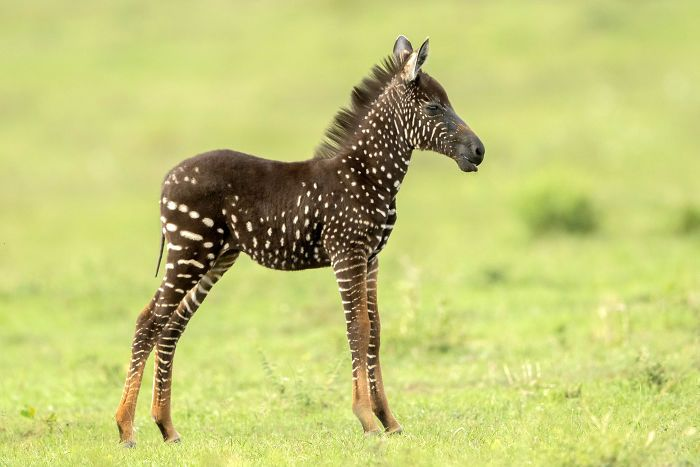 This Baby Zebra Was Born With Spots Instead Of Stripes | Bored Panda