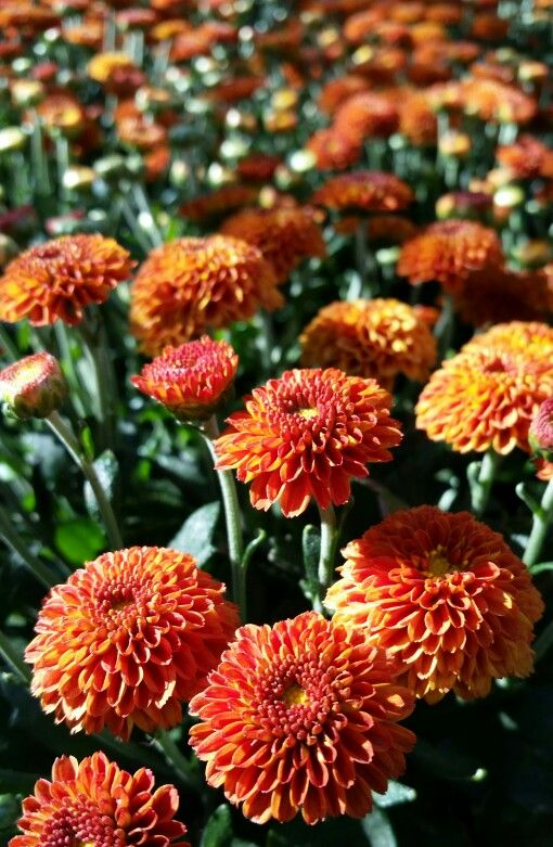 Garden Mum Chrysanthemum Morifolium This Colorful Garden Plant Is Available In Many Forms And Colors Blooming M Chrysanthemum Morifolium Garden Mum Plants