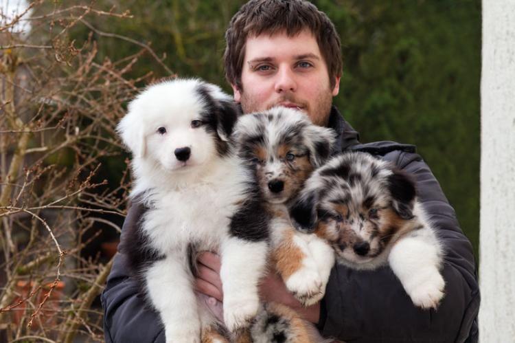 Australian Shepherd Charakter Haltung Pflege Aussie Welpen Australian Shepherds Hunde