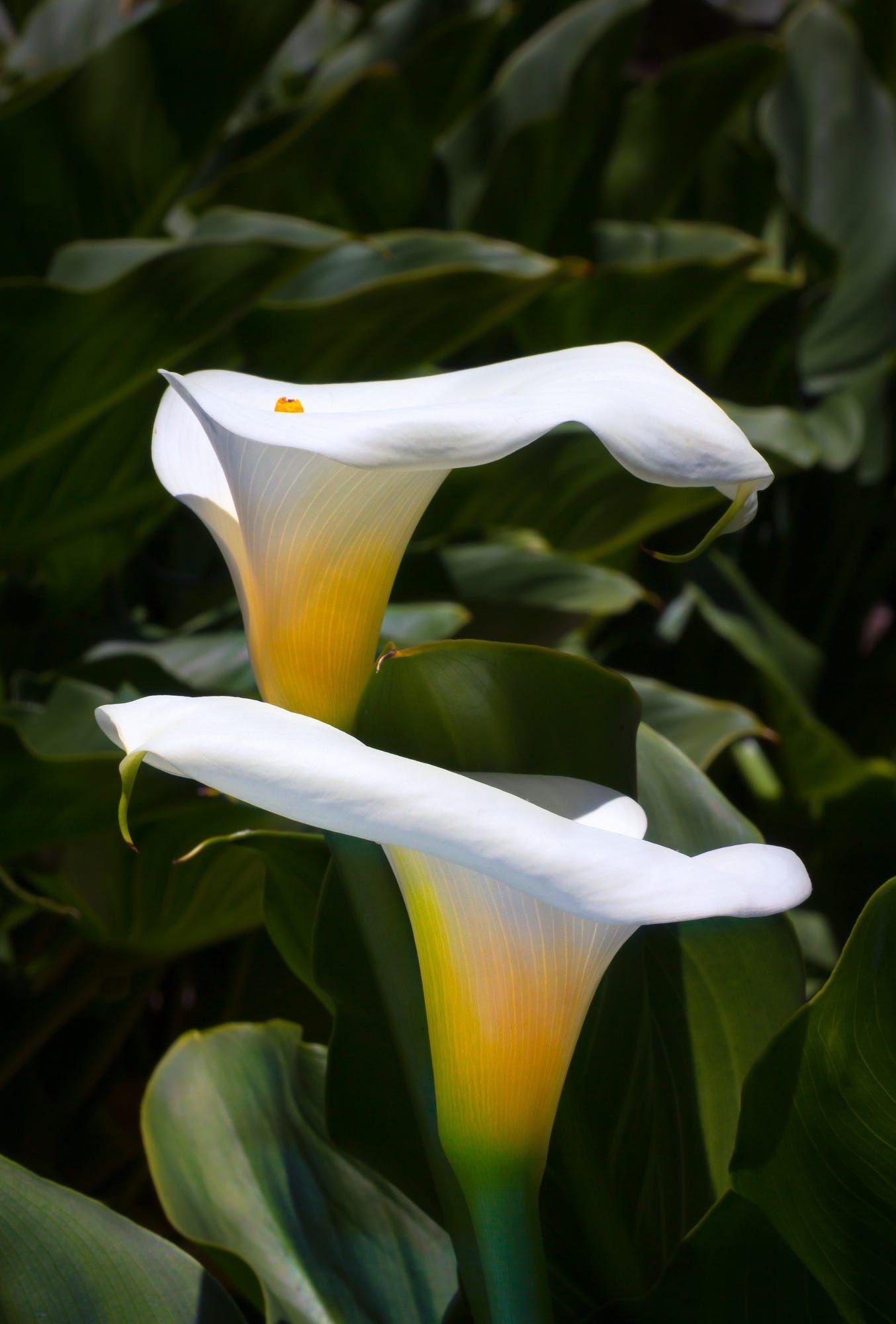 29++ When are calla lilies in season ideas in 2021