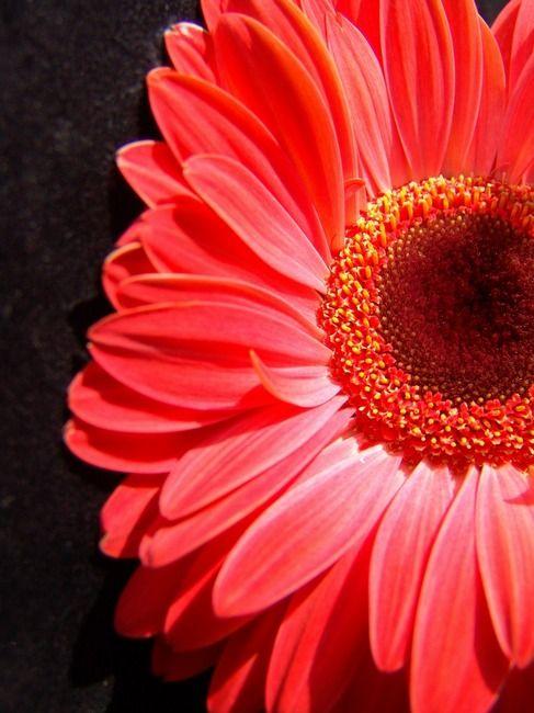 Red Gerbera Daisy Luxurious By Sam Lee Gerbera Daisy Gerbera Pretty Flowers