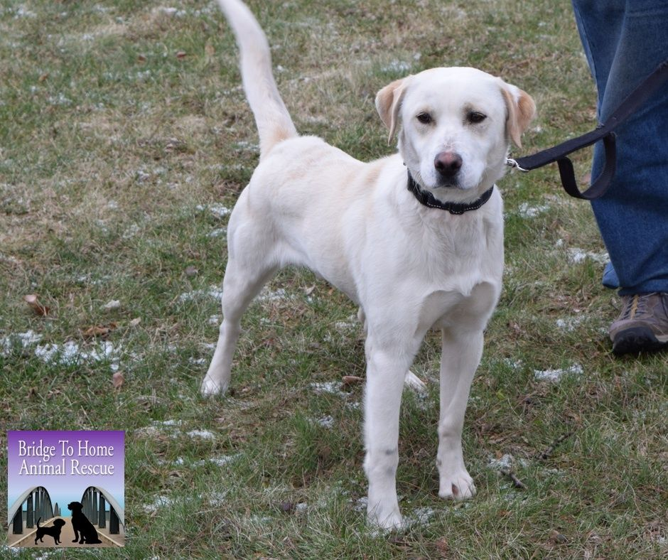 Adopt Cesar On Labrador Retriever Labrador Retriever Mix Labrador