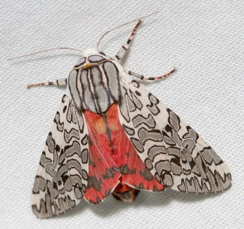 Painted Tiger Moth - Arachnis picta is a North American moth which can be found in the United States Arachnis picta has white forewings transected by gray bands outlined in black, and crimson ...