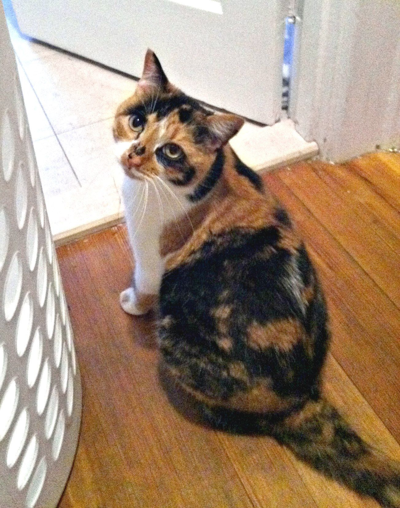 Missing our calico cat Izzy. If you have seen her in West