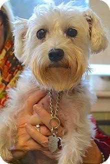 Chattanooga Tn Maltese Yorkie Yorkshire Terrier Mix Meet