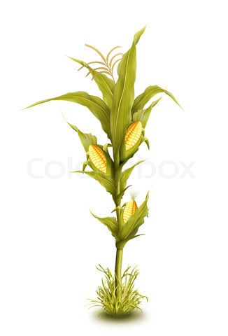 Image Of Illustrated Corn Stalk Isolated Corn Plant Corn Stalks Illustration Infection by most stalk rot organisms, both fungal and bacterial, can occur early in the season. illustrated corn stalk isolated