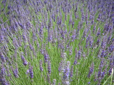Lavendel - Duftende Pflanze Und Heilkraut Für Jeden Garten: So ... Winterharte Balkonpflanzen Pflanzarten Und Pflege Tipps