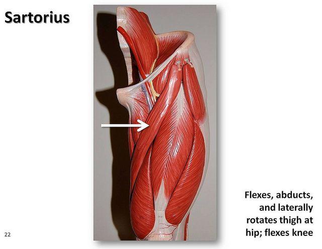 b>sartorius muscle</b>/عضلة خياطية/縫工筋(fèng gōng jīn, Human Body