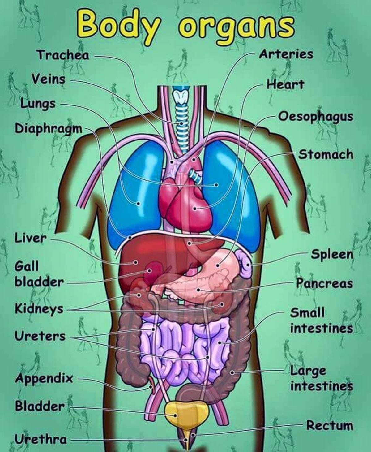 English Vocabulary Internal Organs Of The Human Body