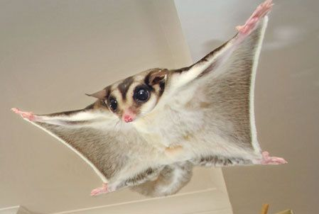 I was so obsessed with sugar gliders when I was growing up, never got one for a pet though haha :(