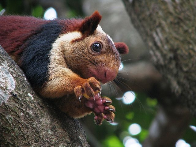 Indian Giant Squirrel Giant Squirrel Indian Giant Squirrel Wild Animals Photography