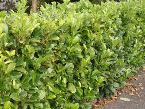 kirschlorbeer richtig schneiden garten pflege schnitt garden plants garden und plants. Black Bedroom Furniture Sets. Home Design Ideas
