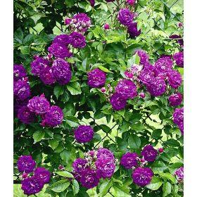 PN3111 Pflanzen - Rosen - Duftrosen - Rambler-Rose \'Bleu Magenta ...