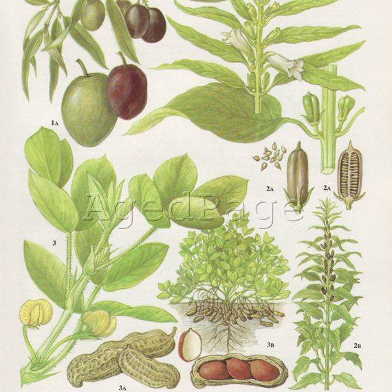 Vintage botanischen drucken Pflanze Diagramm Food Art von AgedPage