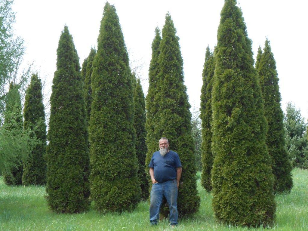 Goshen Gardens 187 Emerald Arborvitae Mckee Estate
