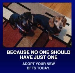 Adopt Sammy And Rusty On Weiner Dog Adoption Wiener Dog