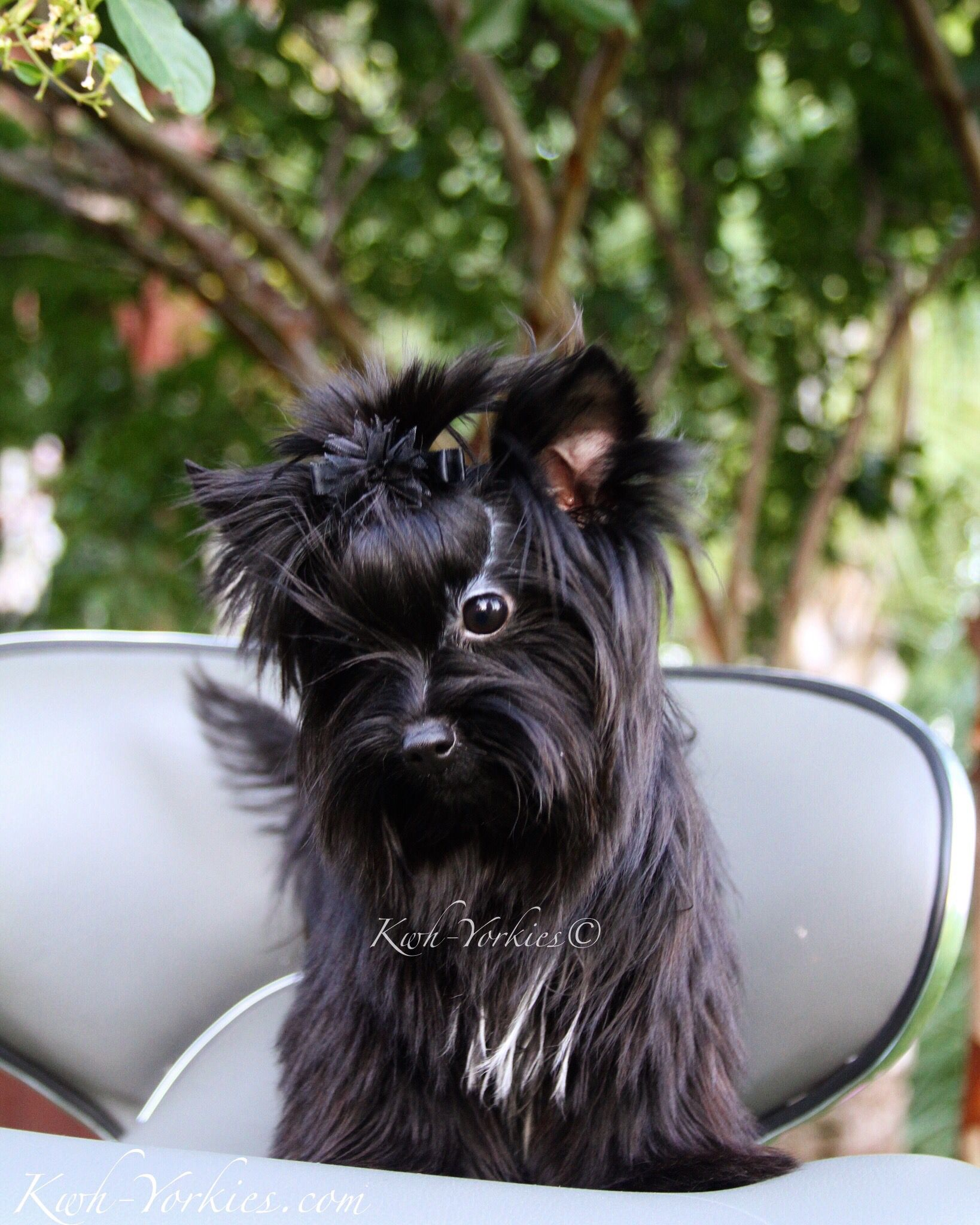 Gorgeous Extreme black Yorkie #yorkies #dogs #puppy #exoticYorkies ...