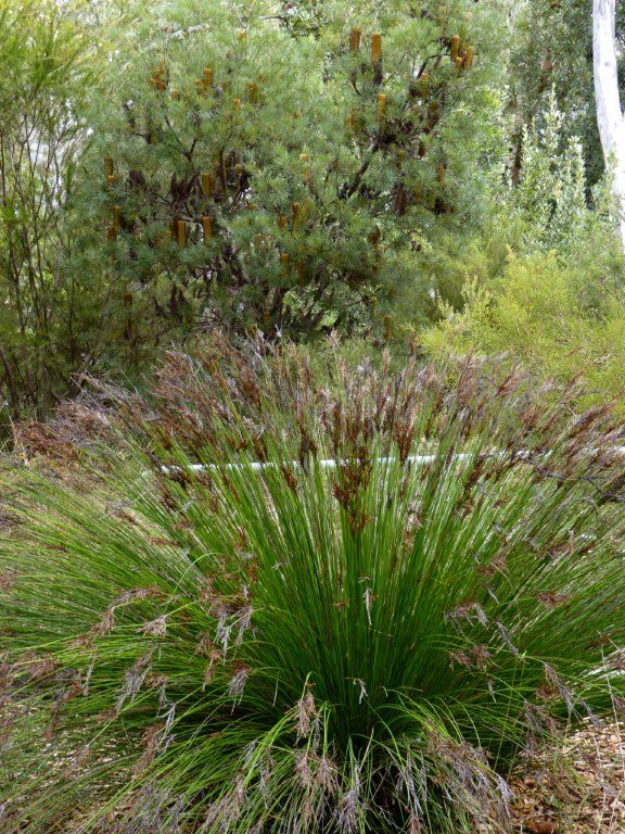 An australian native grass on display at the national for Garden design ideas canberra