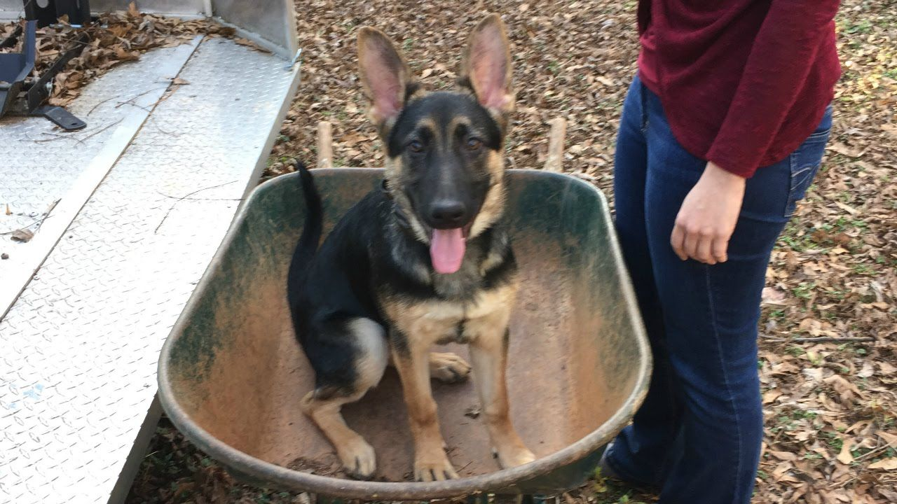 5 Month Old German Shepherd Tiki 2 Week Board And Train Before