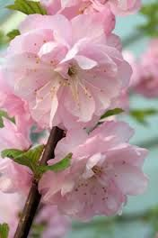 flowering almond tree... Mines a shrub yet, but covered in blooms this past spring