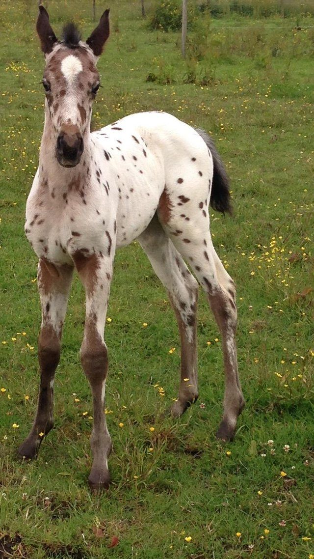Appaloosa Foals For Sale at Weaning For Sale in Stoke On Trent, Staffordshire…