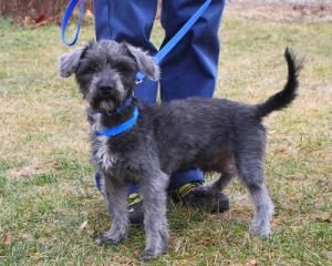 Adopt Matty on Cute animals, Poodle mix dogs, Pets