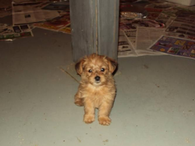 Cute Morkies Morkie Poos And Yorhies Yorkie Poo Puppies For Sale