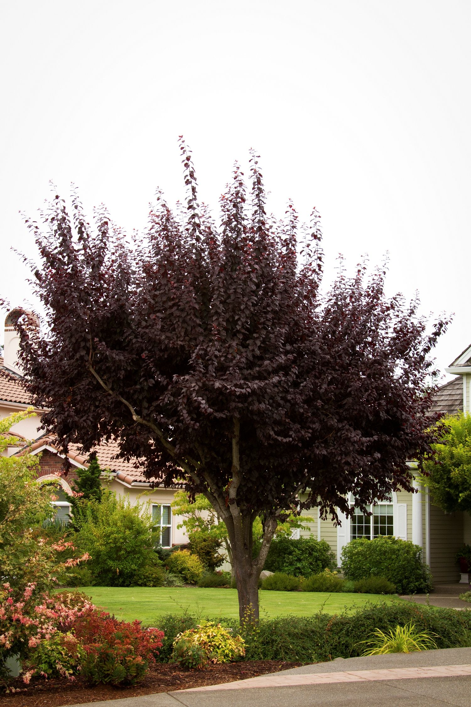 Thundercloud purple leaf plum is a terrific landscape tree for Unusual small trees