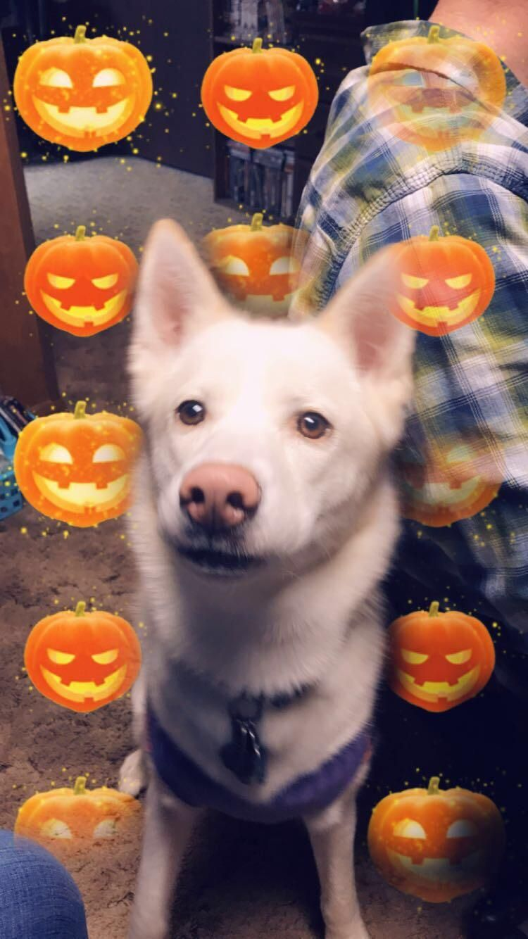 My Luna Is Ready For Halloween Dogpictures Dogs Aww Cuteanimals Dogsoftwitter Dog Cute With Images Dog Pictures