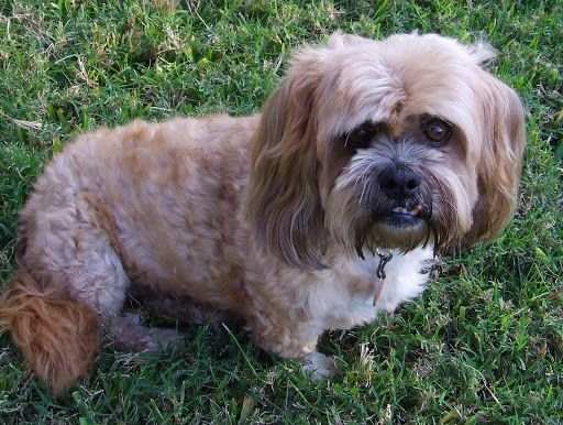 Lhasa Apso Mix Cockapoos Odexxo Inc Is A Pioneer In The