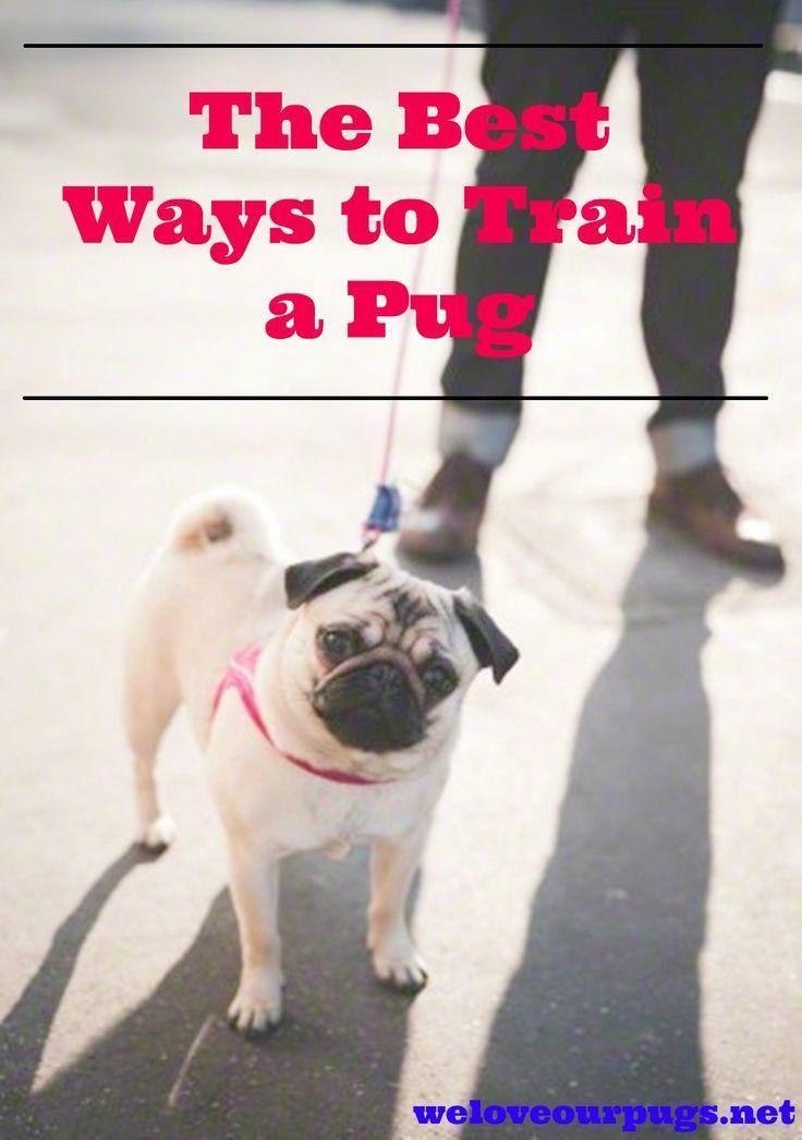 Pug Training Tips For Pugmoms Pug Puppies Pug Puppies Pug