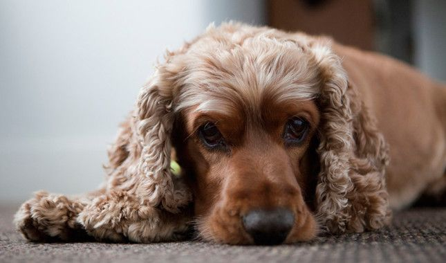 17 Reasons Cocker Spaniels Are The Worst Dogs To Live With Dog