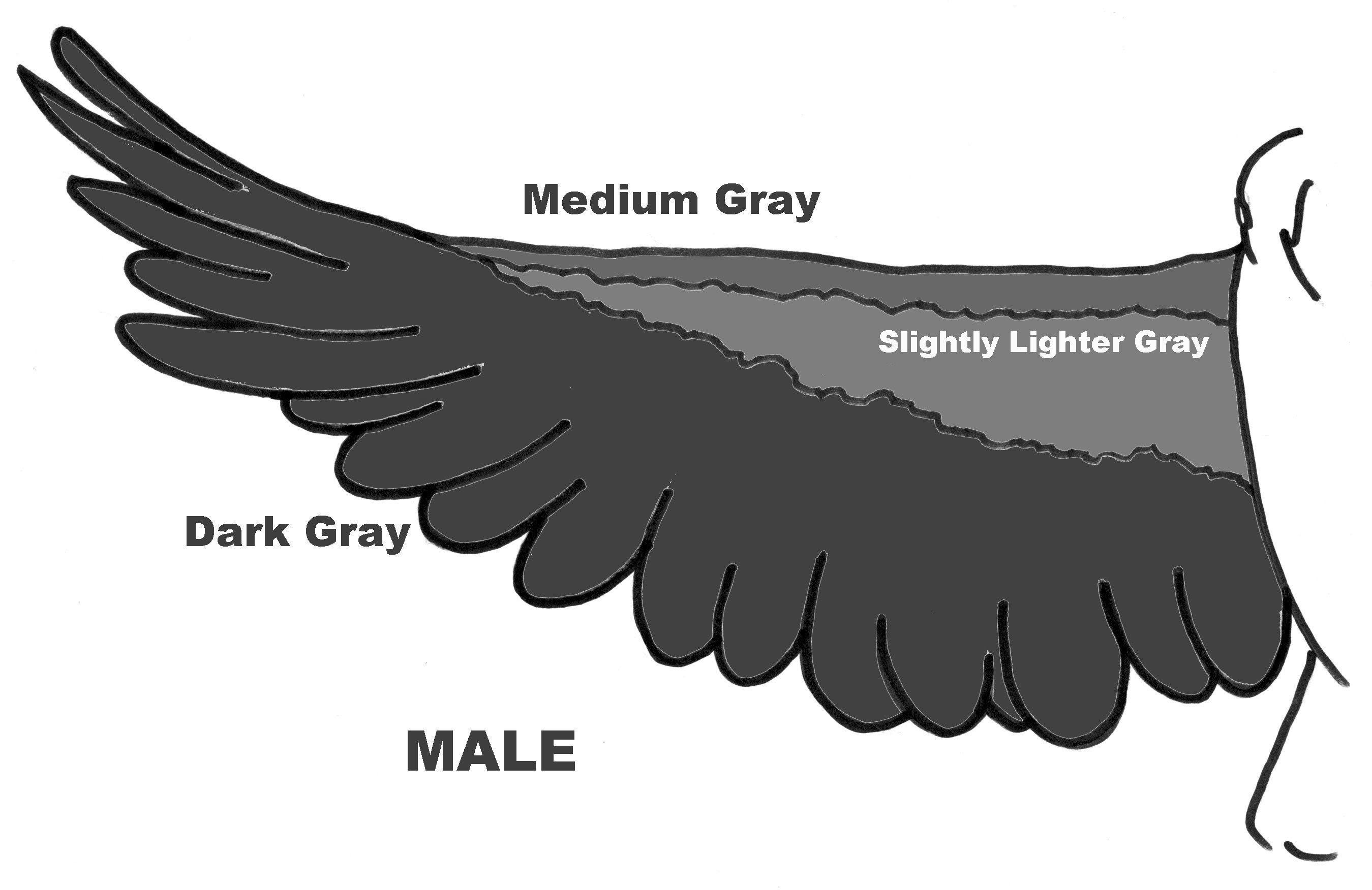African Queen Aviaries African grey parrot, African