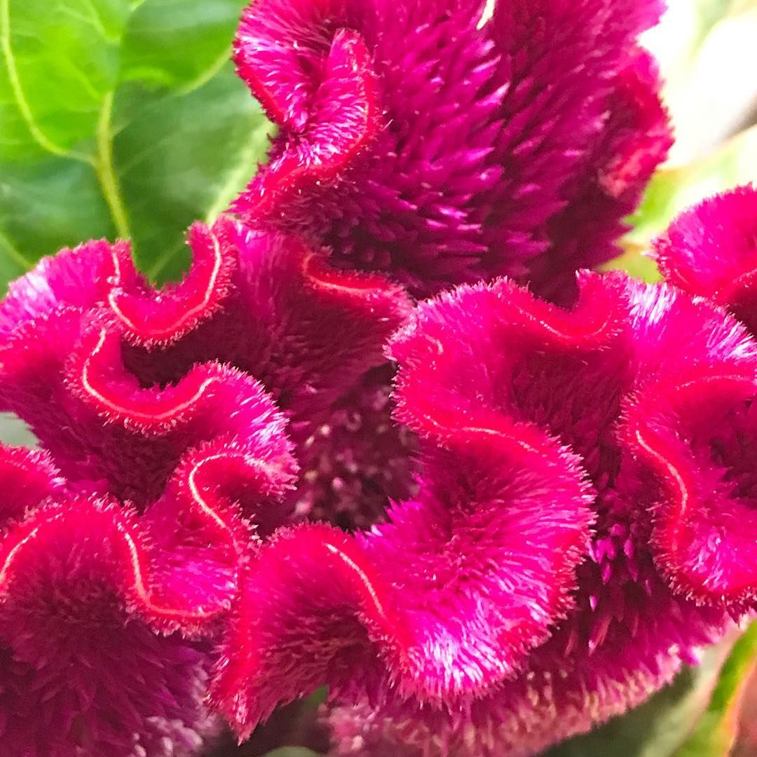 I Have No Idea What These Crazy Furry Hot Pink Flowers Are But The