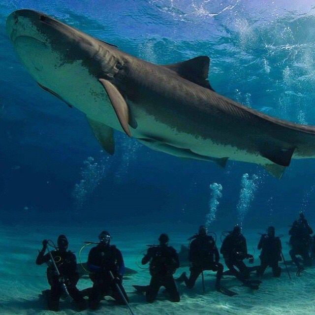 Tiger Shark | Animal Kingdom | Shark, Shark photos, Great ...  Tiger Shark | A...