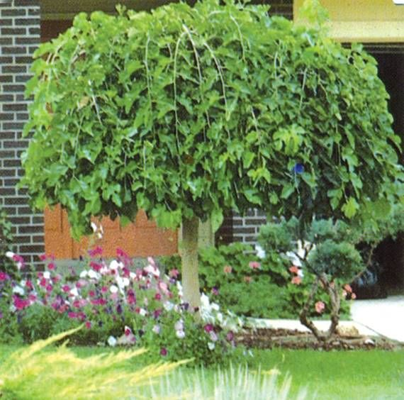 Evergreen Chaparral Weeping Mulberry Tree Fruitless Full
