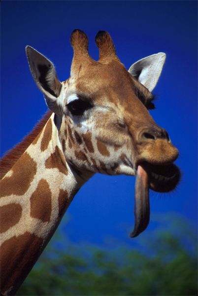giraffe tongue top 10