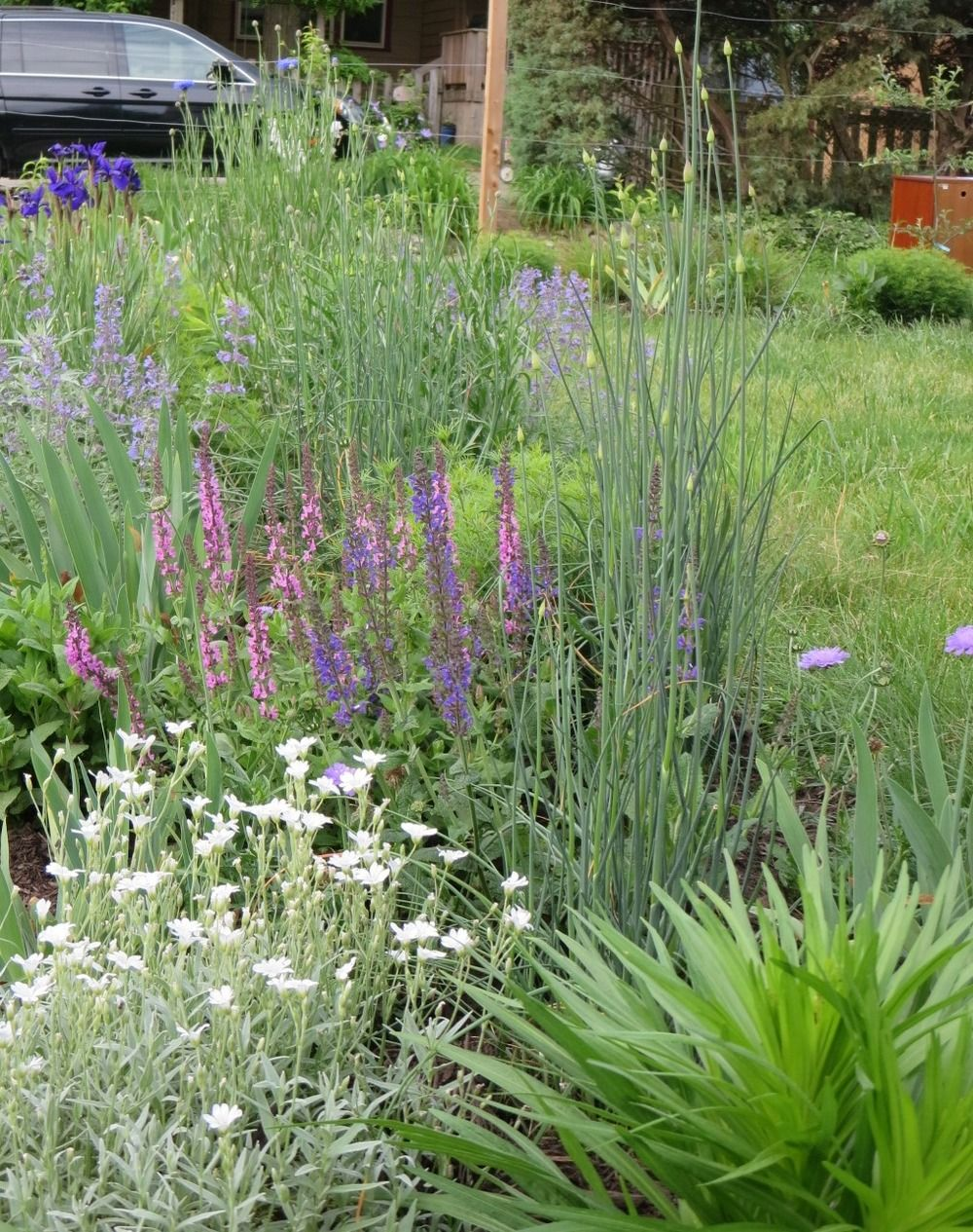 Spring garden border in pink, purple and white with salvia, snow on the mountain, iris, bachelor button, catmint, allium and pincushion flower.