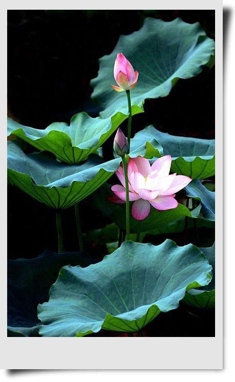 花 Flower 美しい花 エキゾチックな花 蓮の花