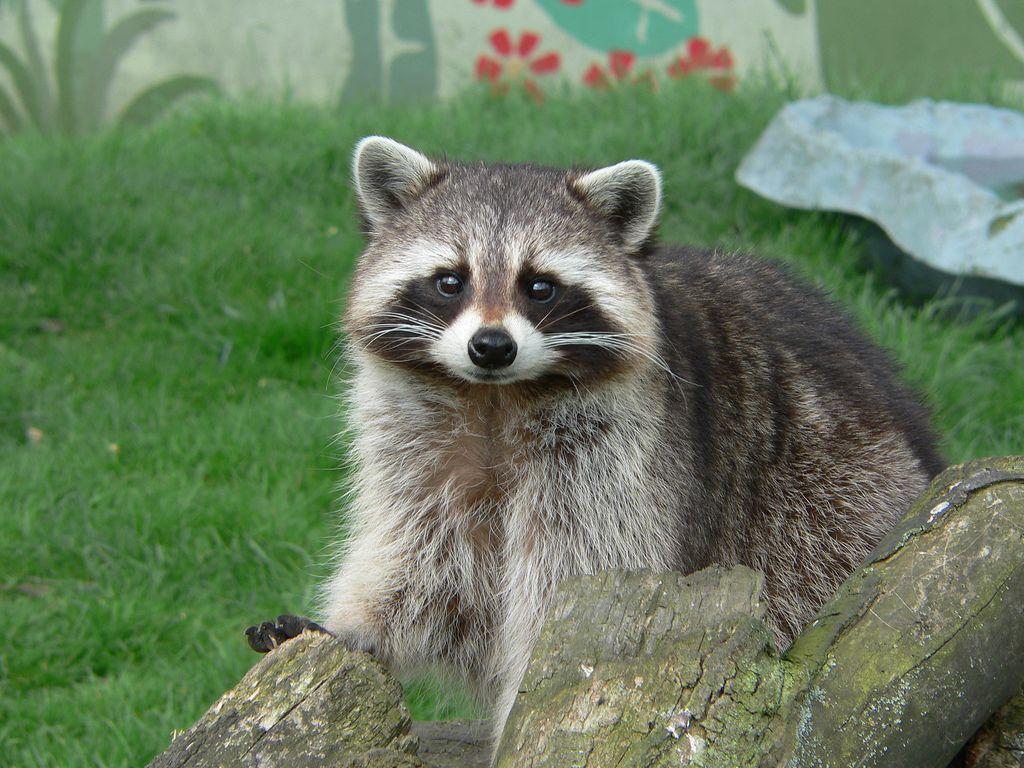Raccoon Cute Pose