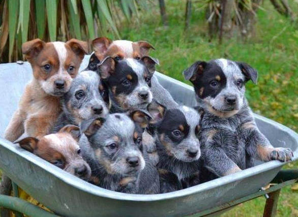 Good Breeder Rundown Ranch Cattle Dogs In 2020 Cattle Dog Cattle Dog Puppy Dogs And Puppies