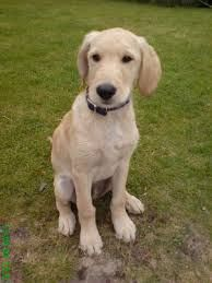 Flat Coated Labradoodle This Is So