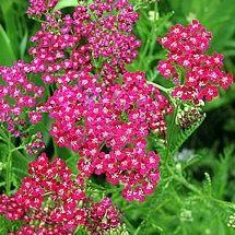Achillea Flower Burst Red Shades New Deer Resistant Garden Deer Resistant Perennials Deer Repellant Plants