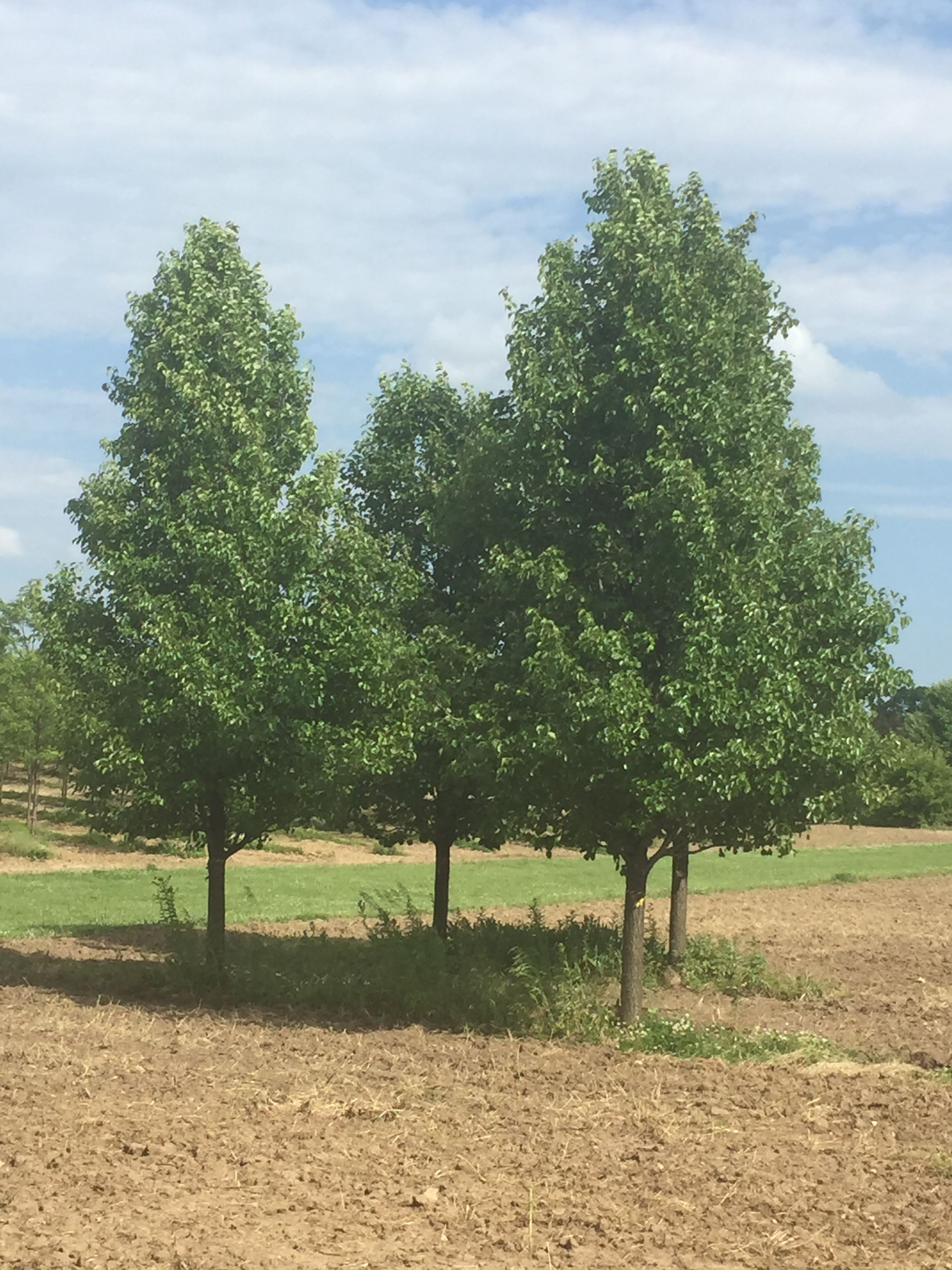 Cleveland Select Pears In Summer Tree Transplanting Pear Trees To Plant