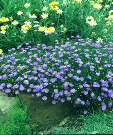 Brachyscome multifida low care australian native daisy for Low care garden plants