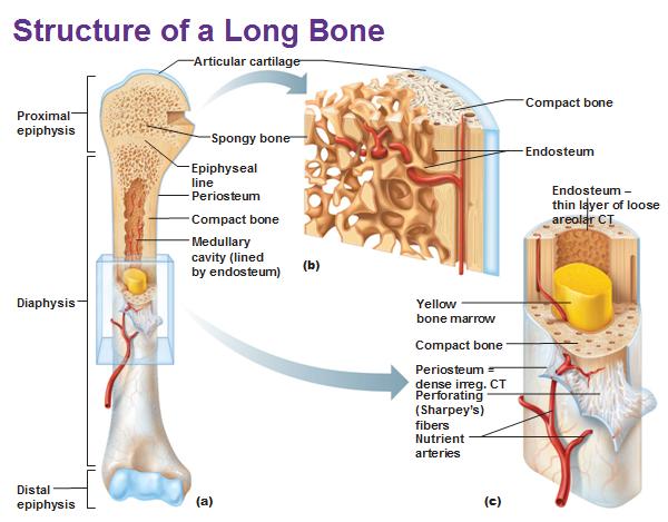 Structure Of A Long Bone Anatomy Pinterest Anatomy