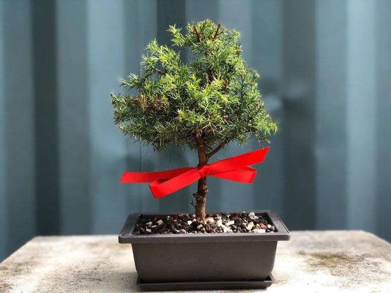 Red Cedar Bonsai Tree Bonsai Gift Etsy Bonsai Tree Indoor Bonsai Tree Bonsai