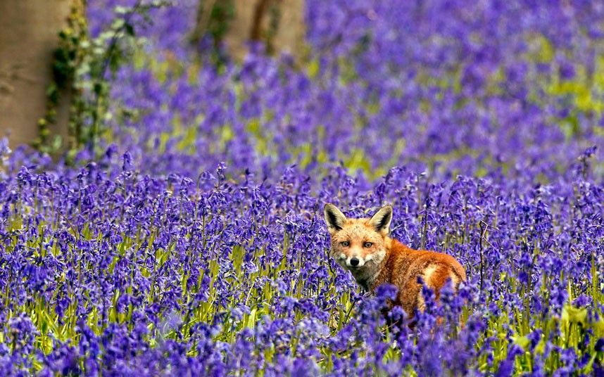 A fox is pictured in a sea of bluebells. The scene was captured by wildlife photographer Brian Bevan near his home in Potton, Biggleswade, Bedfordshire. He rescued the orphaned vixen after her mother was hit by a car and killed.